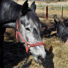 Jaka ściółka jest najlepsza dla konia?